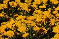 White House daisies (5130110253).jpg