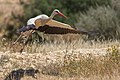 White stork (Ciconia ciconia) Israel.jpg