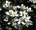 Whitlowgrass-3.jpg