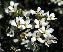 Whitlowgrass-3.jpg