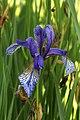 Wien-Penzing - Naturdenkmal 719 - Sibirische Schwertlilie (Iris sibirica) auf der Salzwiese.jpg