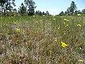 Wild Flowers - panoramio (10).jpg