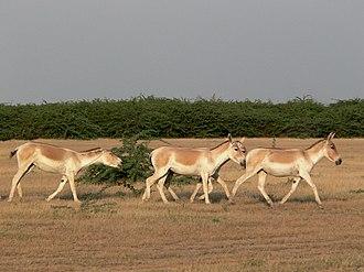 Indian wild ass - Image: Wild ass group female