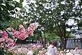 Wilting Roses (157541449).jpeg