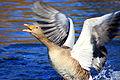 Wings (2373511055).jpg