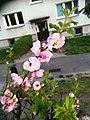 Winiary 2020 flower (prunus).jpg