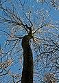Winter tree in Garston Wood RSPB - geograph.org.uk - 294520.jpg