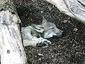 Wolfs puppy sleeping (1027616936).jpg