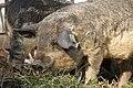 Wollschwein-Eber.jpg