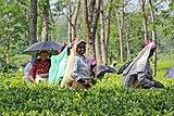 Women harvesting tea, West Bengal 02.jpg