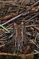 Wood Frog (Lithobates sylvaticus) - La Pêche, Québec 02.jpg