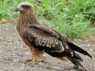 Yellow-billed kite - Immature in the Kruger Park, South Africa