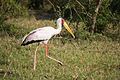 Yellow-billed stork - Queen Elizabeth National Park, Uganda-8.jpg