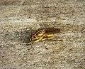 Yellow Dungfly (45548185104).jpg