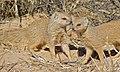 Yellow Mongooses (Cynictis penicillata) (6530397779).jpg