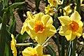 Yellow daffodils.jpg