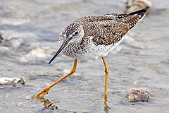 Yellowlegs - natures pics.jpg
