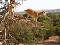 Yes^ and here is a goat tree - panoramio (1).jpg