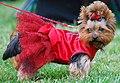 Yorkshire terrier R 001.jpg