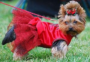 English: Yorkshire terrier Dog Show in Racibór...