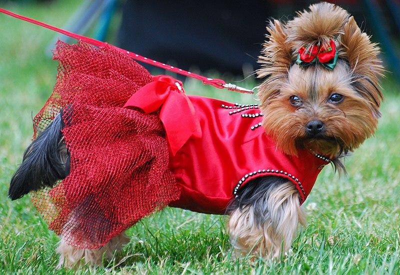 Fichier:Yorkshire terrier R 001.jpg