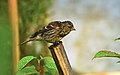 Young Redpoll (2704404307).jpg
