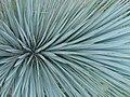 Yucca30A.jpg