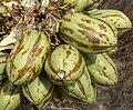 Yucca brevifolia 23.jpg