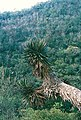 Yucca potosina fh 0386 MEX B.jpg