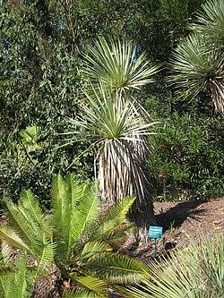 Yucca thompsoniana.jpg