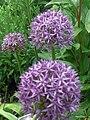 Yvoire Jardin Cinq Sens fleur oignons.jpg