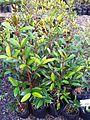 Z Cafe Marron - Coffea myrtifolia seedlings - Ferney nursery.jpg