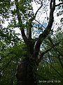 Zalizniak oak tree 08.jpg