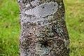Zanthoxylum piperitum in Hackfalls Arboretum (1).jpg