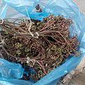 Zanthoxylum rhetsa's seeds.jpg