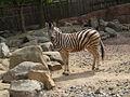 Zebra (Kerkrade Zoo) 01.jpg