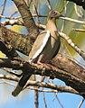 Zenaida asiatica Paloma Aliblanca White-winged Dove (14938616584).jpg