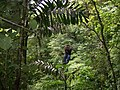 Ziplining through rainforest at Canopy San Lorenzo in San Ramon, Costa Rica.jpg