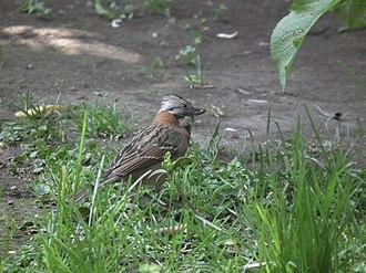 Rufous-collared sparrow - Chincol at Las Condes, Santiago de Chile