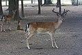 Zoo América-2821-Dama dama.jpg