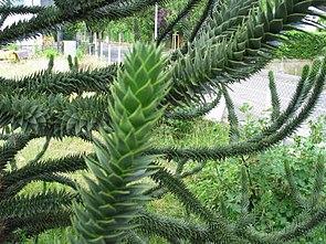 Zweige der Chilenischen Araukarie (Araucaria araucana)