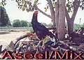 'ASEEL MIX BATTLECOCK ROOSTER' used for 'ILLEGAL COCKFIGHTS' in some villages in different parts of India..jpg