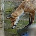 'Freda' Fox (15242544381).jpg