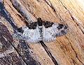 (1736) Royal Mantle (Catarhoe cuculata) (19994117866).jpg