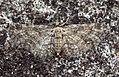 (1812) Maple Pug (Eupithecia inturbata) (5991290064).jpg