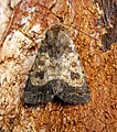 (2387) Mottled Rustic (Caradrina morpheus) (28132353742).jpg