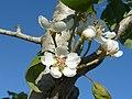 (ALB) P. communis - flower-5.jpg