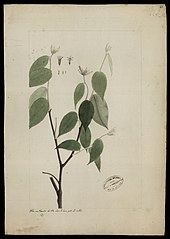 (Lasiadenia rupestris, Benth)