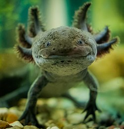 Аксолотль мексиканской амбистомы (Ambystoma mexicanum).jpg