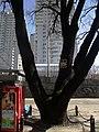 Дуб-довгожитель 03.JPG